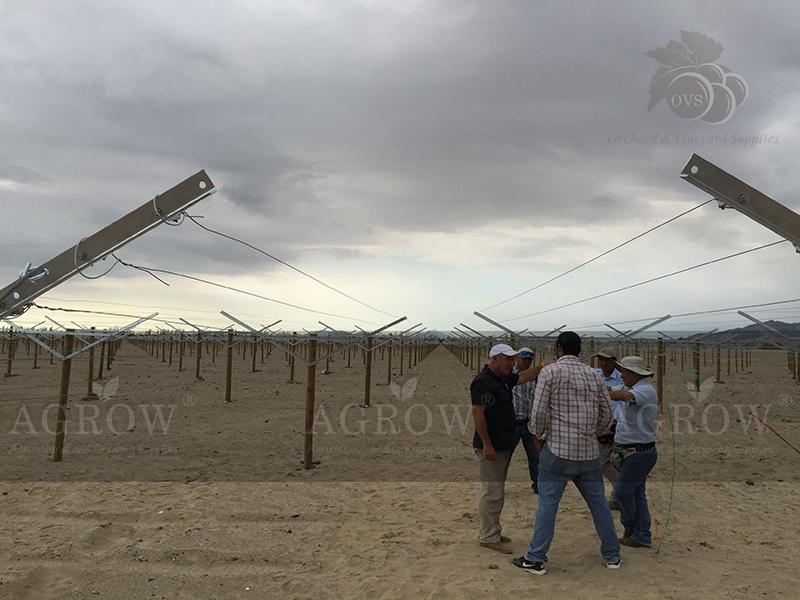 Open Gable trellis system Peru Agrow 2014