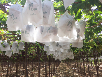 Agrow Grape Bags Peru 2015